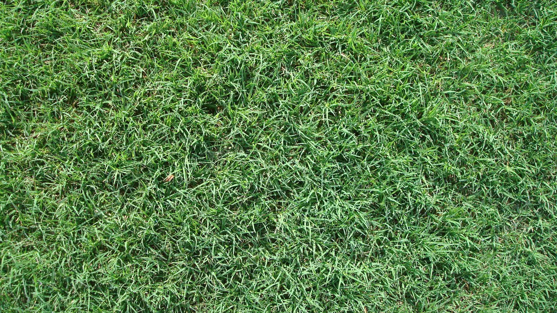Common Bermuda | The Grass Outlet