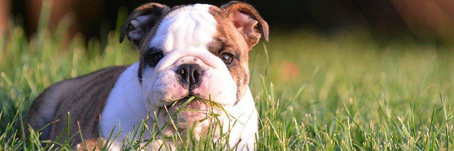 Alasan Utama Anjing Makan Rumput Ternyata Bukan Karena