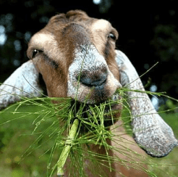 goat happily eating grass
