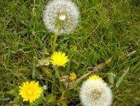 two dandelion weeds