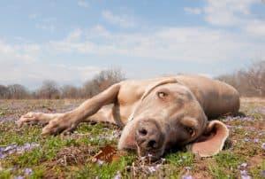 sleepy dog on a lawn
