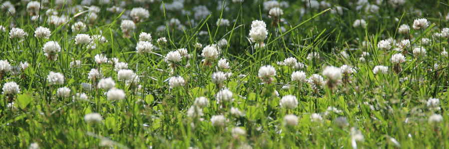 white clovers in lawn