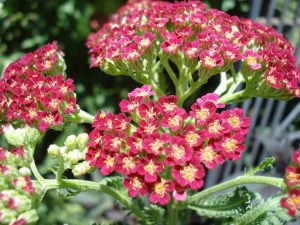 The beautiful yarrow bloom